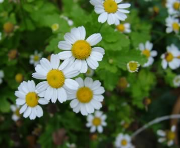 feverfew - medicinal herb growing